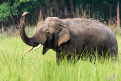 Elephant Salute (PB2_1511) (Param-Roving-Photog) Tags: elephant lone bull tusker male tusks trunk raised erect salute animal wildlife grassland tall grass jungle safari dudhwanationalpark wildlifephotography nikon tamron indianwildlife