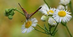 buon appetito... (andrea.zanaboni) Tags: nettare fiore flower summer farfalla butterfly occhi eyes nikon macro