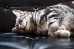 _DSC9078 (catfish.boogie) Tags: nikond750 tamronsp35mmf18divcusd japan hokkaido sapporo cat