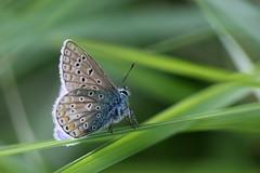 argus bleu ( Polyommatus icarus ) Erdeven 170524b3 (papé alain) Tags: insectes lépidoptères papillons argusbleu polyommatusicarus erdeven morbihan bretagne france