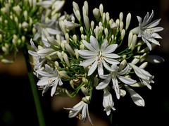Anche i fiori piangono… The flowers also cry ... (Marco_964) Tags: fiore bianco gocce sfocato verde natura flower white drops green bokeh pentax bocciolo blossom rugiada dew