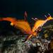 Female-male breeding pair of weedy seadragons #marineexplorer