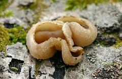 Peziza (?) species (A Really Small Farm) Tags: peziza fungus cupfungi ascomycota nature forests scurffy macro