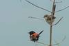 DSC_0049 (Avian51) Tags: birds fairywren redbacked