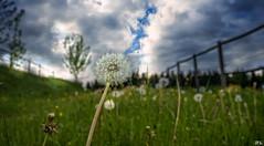 Pusteblume (roland_lehnhardt) Tags: dmcgx80 weitwinkel pusteblume dandelion natur landschaft landscape blumen flowers wiese grün green wolken clouds grosaufnahme closeup himmel sky löwenzahn taraxacum