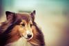 Dylan (Ederson Gomes) Tags: t2i pet pastordeshetland dog 85mm canon shetland cachoro shetlandsheepdog animal sheepdog pastor pero perro dogs platinumheartaward