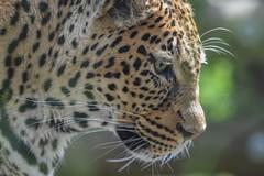 African Leopard Profile (stephanieswayne1) Tags: endangered zoo columbus gaze eyes spots animal wild cat big looking profile leopard african