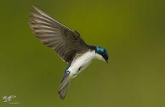Tree Swallow In Flight (The Owl Man) Tags: