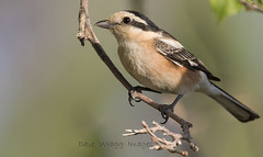 _9136 Masked Shrike (Dave @ Catchlight Images) Tags:
