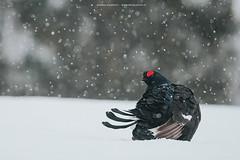 Black grouse (Andrea Zampatti_Wildlife Photographer) Tags: black grouse gallo forcello fagiano di monte tetrix snow neve lapponia lapalnd finland finnish mountain taiga wildlife photography bird andrea zampatti