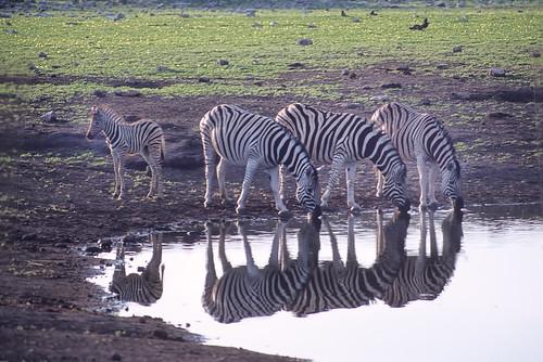 Burchells Zebra drinking at Chudop  water hole Etosha Pan Namibia