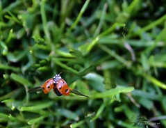 Mariquita (Rabadán Fotho) Tags: mariquita coleoptero coccinelidos coleoptera insectos ladybug insects macro macrofotografía insecto rojo red chinita sprin primevera
