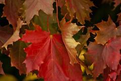 'Leaving.....'            (see description) (Milesofgadgets ) Tags: leaves autumn autumnleaves autumnal orličkycz orličky petermiles pentaxk10d smcpentaxda55300mmf458ed petermiles