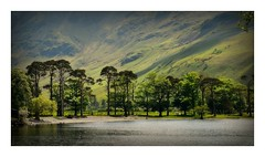 The Buttermere pines. (A tramp in the hills) Tags: buttermerepines cumbria lakedistrict trees