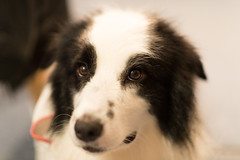 20170521_193904.jpg (ch.90) Tags: dog border collie animal bordercollie