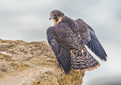 Peregrine fledge (knobby6) Tags: peregrine falcon tiercel birdofprey hawk outdoors photography chick callifonrnia nest