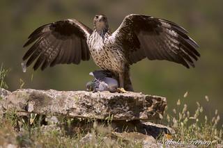 Bonelli's Eagle. Aguila Perdizera.