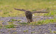 Little Owl touch down! (gazclarke2555) Tags: nature wildlife merseyside uk nikon d7200 sigma 150600mm sport owl