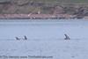 Risso's Dolphin (Grampus griseus) 21 May-17-25057 (tim stenton www.TimtheWhale.com) Tags: brae bustavoe cetacean delphinidae dolphin grampus grampusgriseus islands mainland mammal odontocetes rissos rissosdolphin scotland shetland shetlandisles