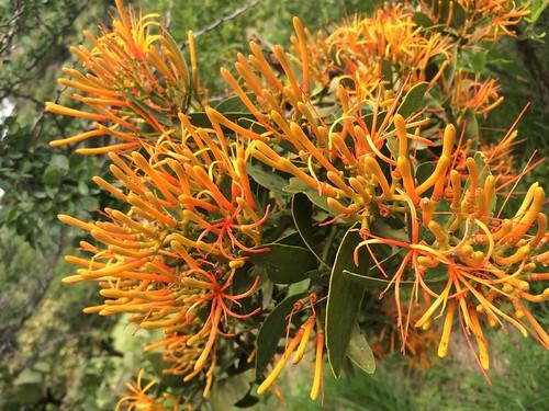 orange protea
