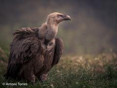 El Bultó (vfr800roja) Tags: lleida solsona buitre bulto vulture natura ocells