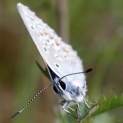 Je te vois... (vepephotos) Tags: macro proxi papillon regard butterfly azuré bleu canon eos7dmark2 60mm vienne civaux orveau poitou france