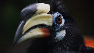 Bird Beak Animal Themes Hornbill One Animal Close-up Focus On Foreground Animal Head  Animals In The Wild Looking At Camera Portrait No People Outdoors Day Oriental Pied-Hornbill Oriental Pied Hornbill