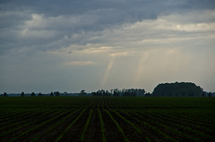 Sprouted Corn (ramseybuckeye) Tags: sprouted rows corn allen county ohio rural country farm sky ray pentax art life