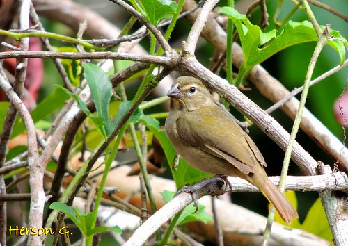 Yellow-faced Grassquit (female)