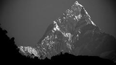 """NEPAL, Himalaya - Annapurna-Massiv  mit Machapuchare """" Fischschwanz"""" ,  von Pokhara aus gesehen, (serie) 16174/8475 (roba66) Tags: machapuchare fischschwanz fishtail annapurna annapurnamassiv himalaya himalayagebirge gebirge reisen travel explore voyages roba66 visit urlaub nepal asien asia südasien pokhara landschaft landscape paisaje nature natur naturalezza mountain berge range mountains montana felsen rock rocks gletscher eis ice blackwhite bw sw branco negro blackandwhite blancoenero blancoynegro monochrome byn bretoebranco einfarbig schwarzweis"""