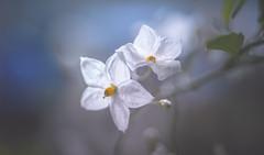 Backlit flower - Solanum jasminoides Album vine (Dhina A) Tags: backlit flower white plant solanum jasminoides album laxum potato vine sony a7rii ilce7rm2 a7r2 bokeh minolta md zoom 3570mm f35 minoltamdzoom3570mmf35 1983 14 macro sharp constantf35 modified f28