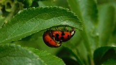 Acrobatic Pair (Deb Simpkins) Tags: ladybird pair harmoniaaxyridis hanging suspended mating harlequin ladybirds wings red black spots under leaf spring 2017 insect bug wildlife nature closeup macro nikon coolpix l840 legs countryside houghtonconquest bedfordshire