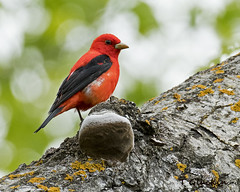 Scarlet Tanager (TimmyGs Photos) Tags: