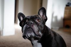 Classic Chrome JPEG (Lainey1) Tags: oz ozzy dog frenchie bulldog lainey1 elainedudzinski frogdog zendog frenchbulldog ozzythefrenchie fuji fujinon fujifilm fujigal fujixt10 jpeg classicchrome photoshopcs6 adobe