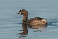 _CGN4863 (Avian51) Tags: australasian birds grebe