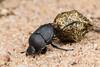 Dung Beetle rolling dung (jgruber111) Tags: melanocanthonnigricornis melanocanthon canthonini scarabaeinae scarabaeidae dungbeetle scarabbeetle coleoptera insect macro entomology
