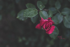 Beauty in the rain (pierfrancescacasadio) Tags: jenatessar bokeh zeiss jena tessar 50mm f28 zeissjenatessar50mmf28 manualfocus manual vintagelens bubblebokeh rosa gocce drops 15052017img0773