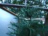 Wollemia Nobilis winterbescherming - protection winter 02.03.2015. (NashiraExoticGarden) Tags: wollemianobilis exoticgarden exotentuin winterbescherming protectionwinter 02032015