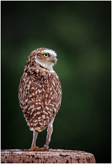 Scarp (tina777) Tags: scarp burrowing owl eyes beak feathers legs feet claws international centre birds prey newent gloucestershire vignette portrait photoshop elements 13 ononesoftware