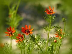 L'été avant l'heure (a.laruelle) Tags: fleur rouge adonis