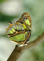 Malachite - Siproeta Stelenes (Darea62) Tags: butterfly insect animal nature wildlife wings malachite siproetastelenes