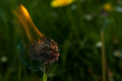burn. (boredomextractionpoint) Tags: flower flowers nature dandelion dandelions burning flame grass macro