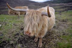HEILAN COO, ISLE OF SKYE  -  (Selected by GETTY IMAGES) (DESPITE STRAIGHT LINES) Tags: heilancoo highlandcow highlandcows kyloe cow cattle heilancoosinscotland highlandcattleinscotland horns day cloud landscape nikon d800 nikond800 nikon2470mm nikkor2470mm paulwilliams despitestraightlines flickr getty gettyimages highlands scottishhighlands boghaidhealach brindled fur grass field pasture farm farming hoof hooves dof photo photography frame raw image animal sconser luib lochainort isleofskye lochsligachan lochcairidh gettyimagesesp despitestraightlinesatgettyimages paulwilliamsatgettyimages