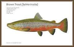 Icelandic Trophy Trout (Fish as art) Tags: trout truite troutfishing tundra fisheries iceworld iceland northern northernfishes salmonids salmotrutta browntrout malebrowntrout flyfishing flyfisherman flyrod angling fishillustration troutdrawing technicaldrawing scientificfishillustration artinscience fishart fishasart paulvecseiphotography paulvecsei