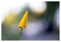 California poppy (leo.roos) Tags: yellow geel californiapoppy californianpoppy goldenpoppy californiasunlight cupofgold slaapmutsje eschscholziacalifornica a7rii meyertrioplan5029 m42 darosa leoroos