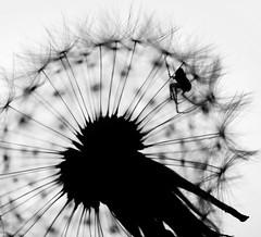Macro Mondays - Silhouette - The Prisoner (RonnieLMills) Tags: macro mondays silhouette hmm prisoner spider close up explore explored 6617 15