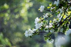 Apple tree blossom (explored) (- Man from the North -) Tags: appletree tree blossom summer finland ostrobothnia westcoast bokeh zenit zenit40285mmf15 russianlens manuallens bokehmonster bokehlicious dof swirlybokeh explore explored inexplore