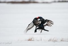 Tetras-lyre (Guldenfels-photos) Tags: tetraslyres finlande neige snow black grouse finland spring