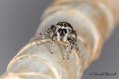 Jumping Spider (harald_meindl) Tags: springspinne jumping spider spinne spinnentiere macro makro canoneos6d canon canonef100mmf28lmacrousm