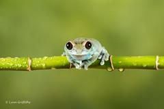 Ruby-eyed Tree Frog D50_7995.jpg (Mobile Lynn) Tags: amphibian frog nature rubyeyedtreefrog captive fauna wildlife bournemouth england unitedkingdom gb coth specanimal coth5 ngc sunrays5 npc